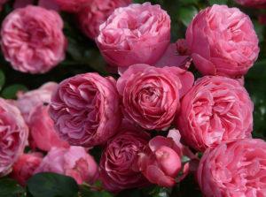 Роза флорибунда – царица цветника