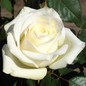 Сорта роз — Анастасия