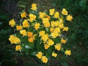Сорта роз — роза Керио