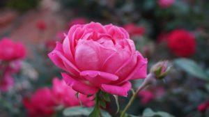Как ухаживать за розовой розой