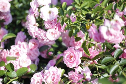 Особенности кустовой розы, выращивание и уход