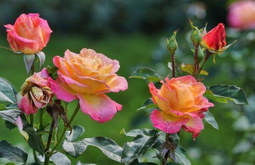 Как украсить розами свой садовый участок
