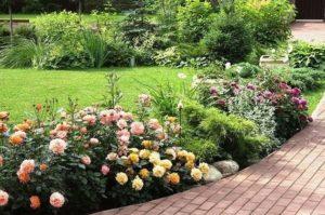 Как правильно высадить саженец розы