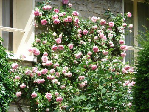 Плетистые розы — королевское украшение приусадебных участков