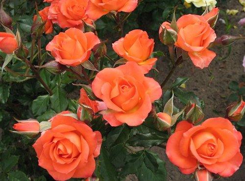 Сорта роз — роза Waw (Вав)