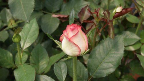 Сорта роз — роза Джумилия (Jumilia)
