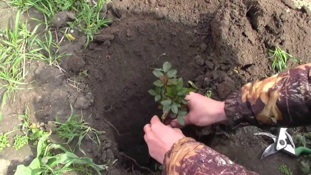 Посадка черенков роз в открытый грунт