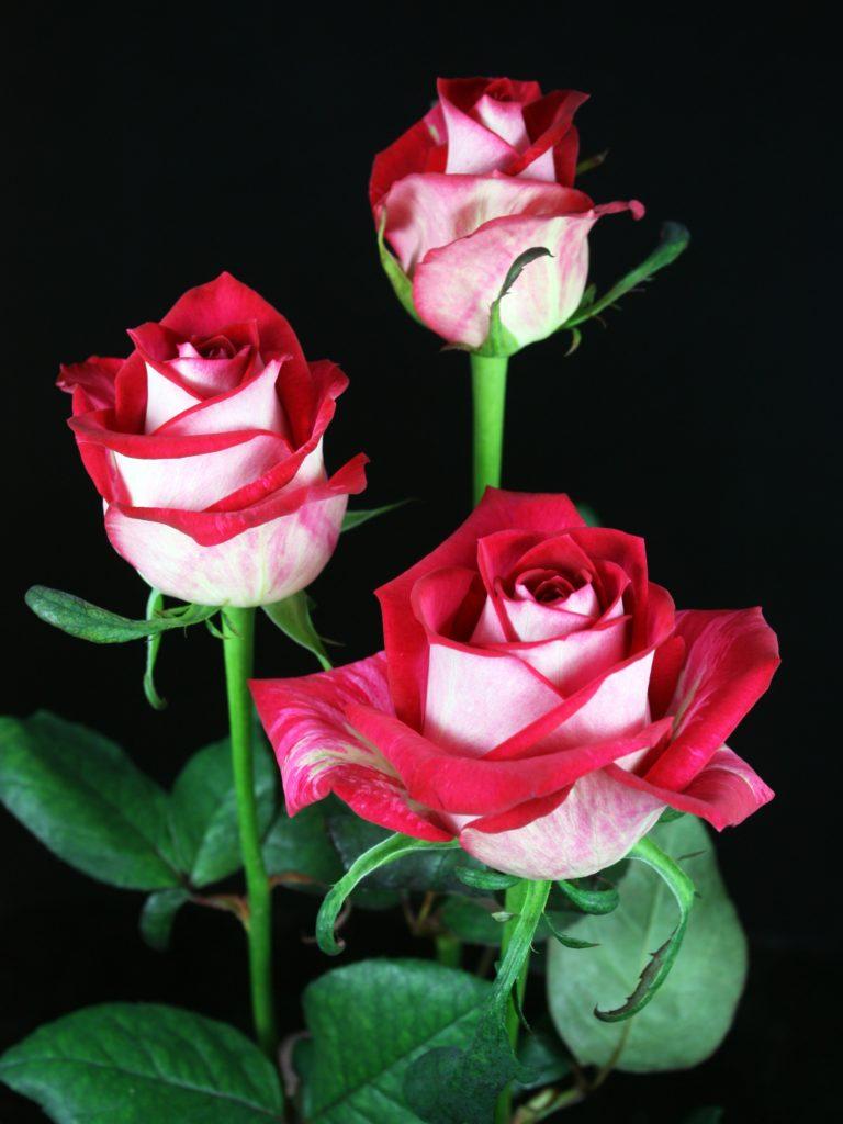 роза All Stars