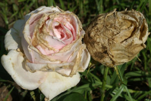 Розы. Борьба с болезнями и вредителями