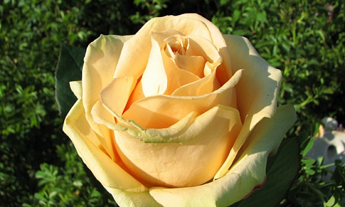 Роза сорта Peach Avalance (Пич Авананж)