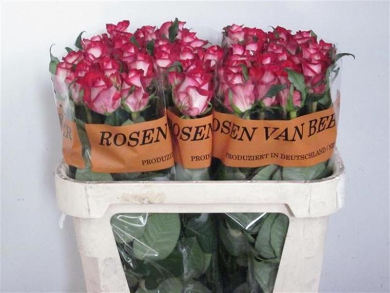All star роза