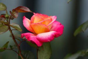Удобрение для садовой розы