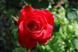 Когда высаживают розы в жарком и холодном климате