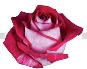 Сорта роз — роза All Stars (Олл Стар)