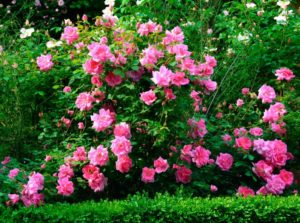 Как ухаживать за кустовыми розами