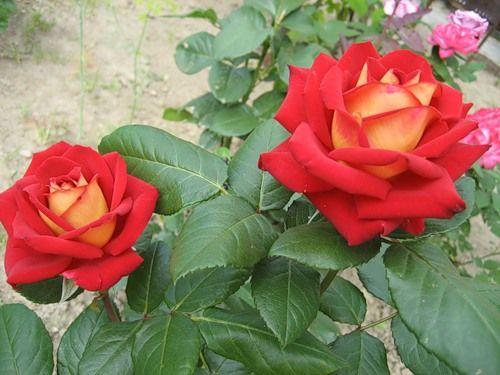 Сорта роз - роза New Fashion (Нью Фешн)