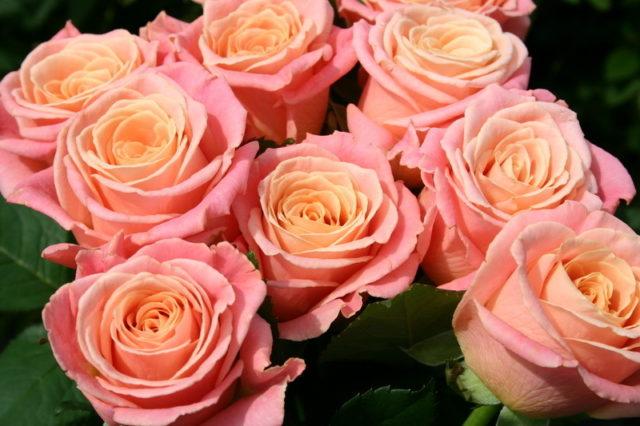 Роза сорта Miss Piggi (Мисс Пигги)