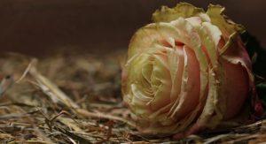Причины, которые угнетают розу