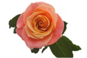 Сорта роз — роза Miss Piggi (Мисс Пигги)