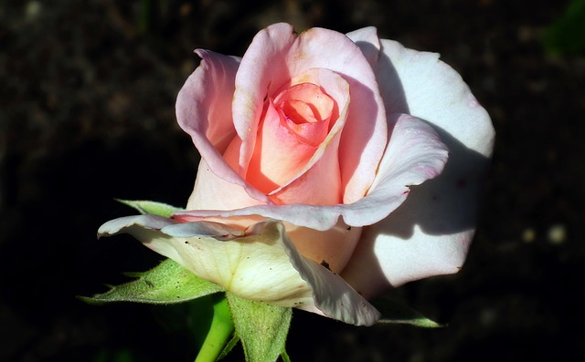 появление пятен на розах