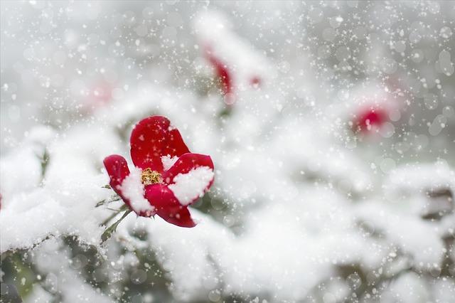 Обрезка роз зимой