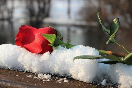 Как правильно обрезать и подготовить розы к зимовке