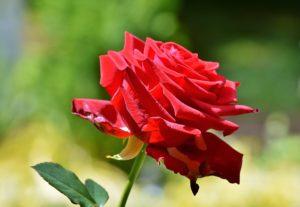 Корнесобственная роза