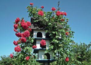 Вьющиеся розы – лучший выбор для оформления сада