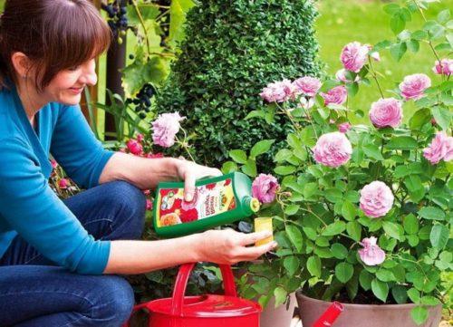 Как приготовить эффективные подкормки для роз из подручных средств