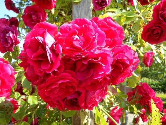 пересадка плетистой розы