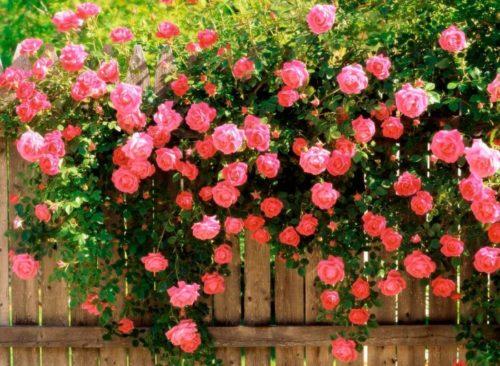 Секреты ухода за плетистыми розами