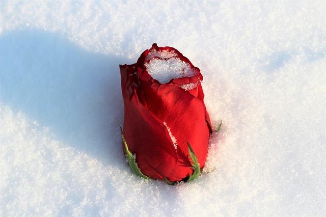 Зимовка розы