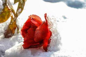 Как уберечь розы от зимних морозов