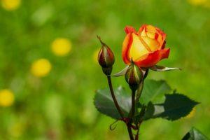 Самые распространенные ошибки при выращивании молодых роз