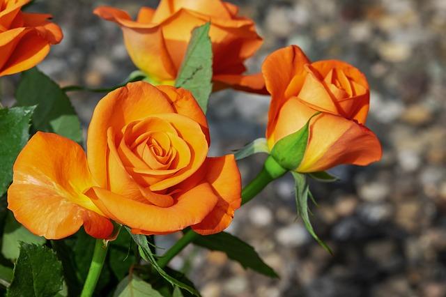 Розы на Урале