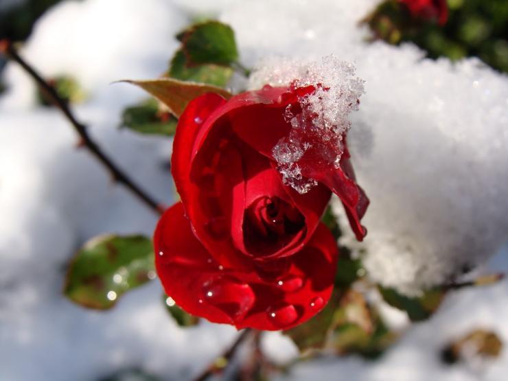 Несколько дельных советов подготовки роз к зиме