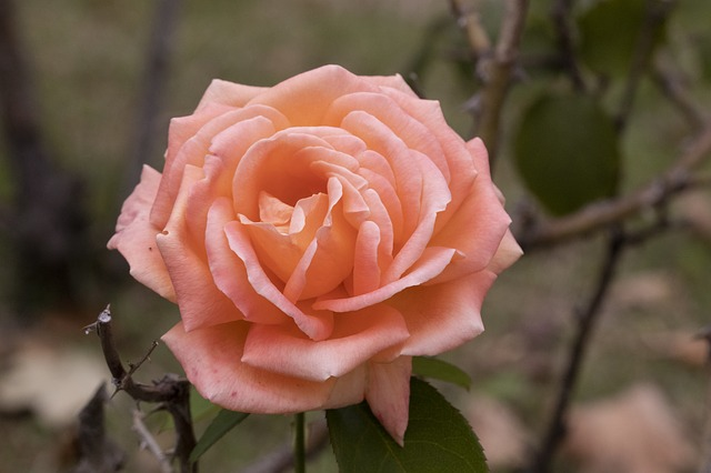 роза осенью