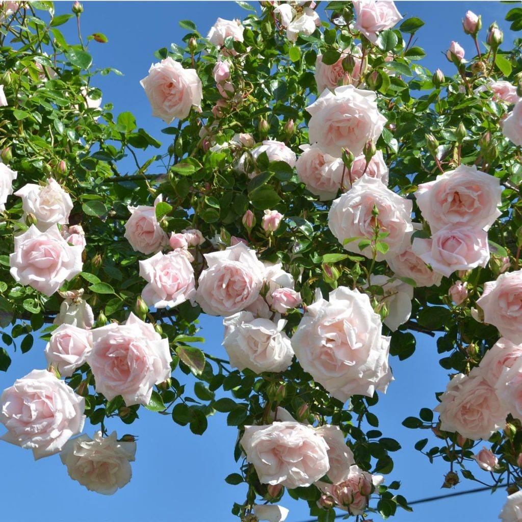 Топ-5 самых зимостойких и неприхотливых роз