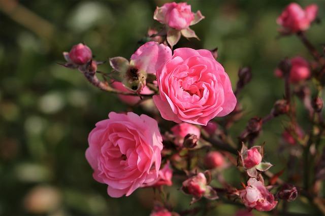розы осень