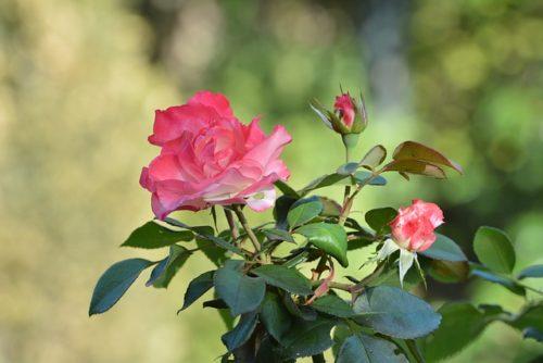 Что запрещено делать во время осеннего ухода за розой?