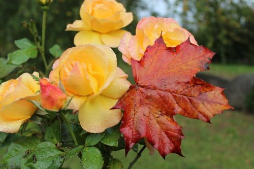 Посадка роз осенью – пошаговая инструкция