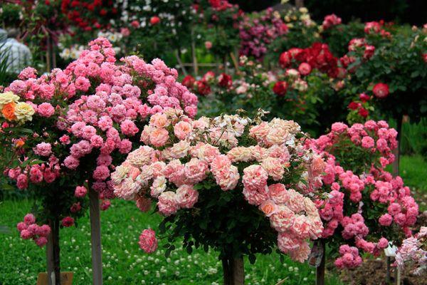 Штамбовые розы в саду – виды и варианты посадки