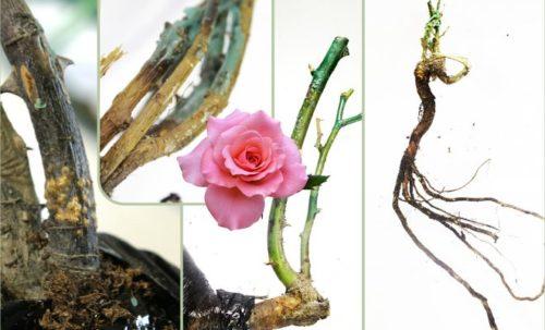 Реанимация роз. Что делать, если купили плохие саженцы