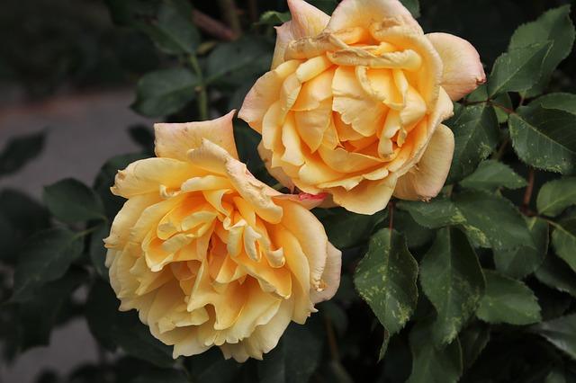 Розы сажаем осенью