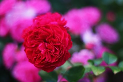 Подготовка к зиме декоративных садовых роз