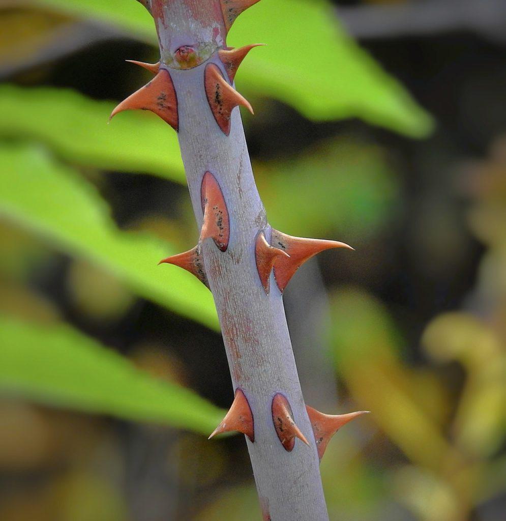 Основы отличия розы от шиповника по листьям и побегам