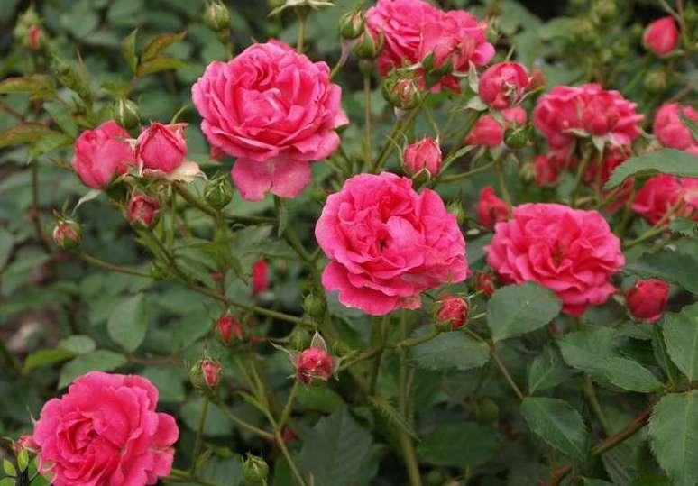 Как разместить розы на дачном участке
