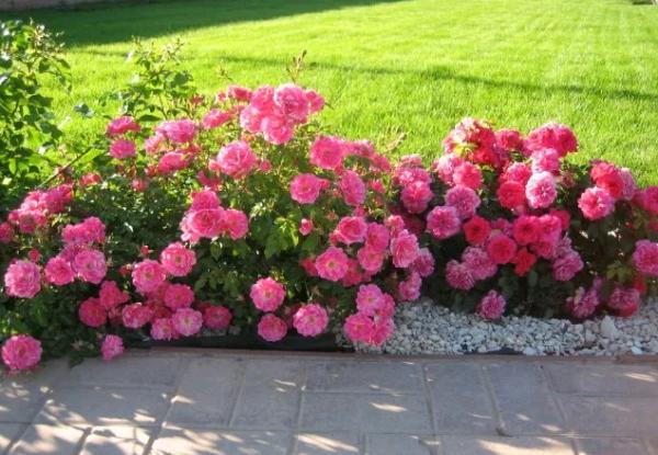 Бордюрная роза: посадка и уход
