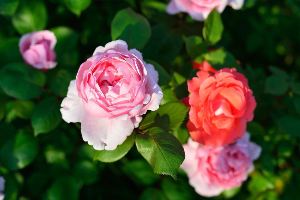 выбираем розы для розария