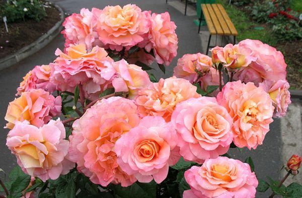 Сорта роз: Роза Августа Луиза